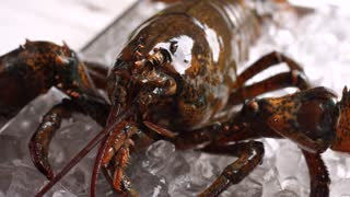 Live lobster on ice cubes. Brown lobster moves his mouth. Sea creature with strong shell. Claws and jaws.