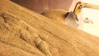 Loading grain into backhoe. Heap of yellow crop in grain factory storage.