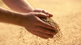 Male farmers hand grabbing and pouring grains. Agriculture, farming, prosperity, harvest and people concept. Slow motion.