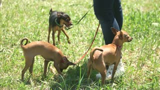 Master is running with her little chihuahuas. Three dogs are following their masterer.