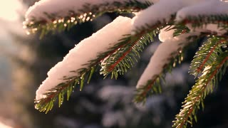 Morning sun's rays shining on the snow-covered Christmas tree branch.