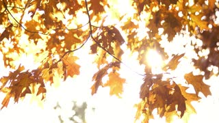 Oak tree leaves in autumn. White bright background.