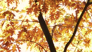 Oak tree with golden autumn leaves. Tree against white sky background.