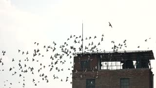 Old abandoned building roof and flock of birds. Flight of pigeons, slow motion, white sky background.