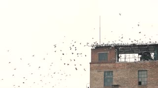 Old building and flock of birds. Many pigeons, slow motion. White sky background.