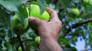 Old grandfather pluck a pear tree. Farmer breaks the pears. Fruit harvest. Wrinkled hand.