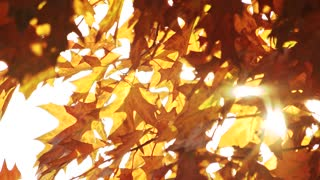 Orange oak leaves. White sky background.