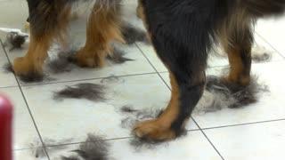 Paws of bernese mountain dog. Fur clippings, pet salon floor.