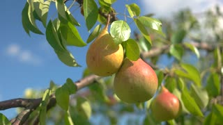 Pears and leaves. Ripe fruits under sunlight. Natural food grown without pesticides. Be grateful to nature.