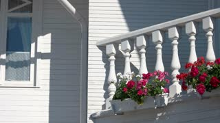 Petunias on the balcony. Plants and white wall. Flower care tips.
