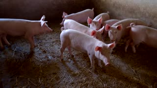 Piggies are walking around. Group of swines. Pigpen at local farm. Get profit from breeding livestock.