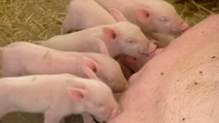Pigs drink milk from sow. Group of small piggies. Young animals in the barn. Hog breeding at the farm.