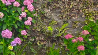 Pink and purple hydrangeas. Flowers on the wall. How plants help the environment.