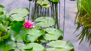 Pink lotus flowers. Green leaves on water. In search of serenity.