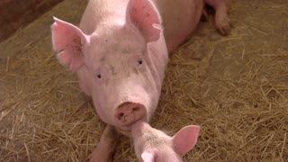 Pink pig lies on straw. Piglet touches face of sow. Piggie kisses its mother. Kindness of the animal.