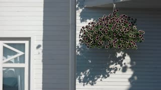 Plants moving in the wind. Petunias on house wall background. Flower care basics.