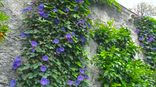 Purple morning glory. Climbing flowers on the wall.