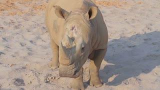 Rhino runs around the aviary. Big rhinoceros in a zoo.