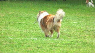 Rough Collie dog is running in slow motion. View from the back.