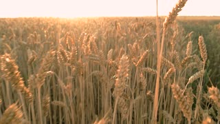 Running among wheat field. Sunset. First person view.