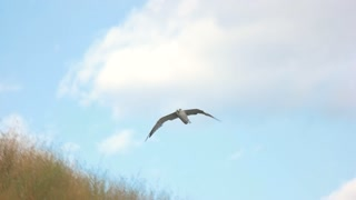 Seagull flying in slow-mo. Bird on sky background. Born for the heights.