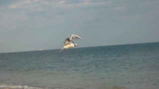 Seagull grabbing food. Bird on water background. What do birds eat.