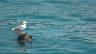 Seagull on a log. Bird on water background. The lonely explorer.