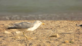 Seagull taking off, slow motion. Bird on seashore background. The feathered traveller.