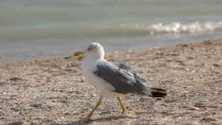 Seagull walking in slow-mo. Bird on the seashore. Facts about seagulls.