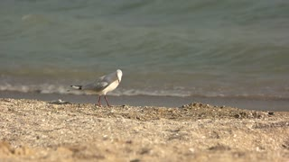 Seagull walking, slow motion. Bird on waves background. Features of birds.