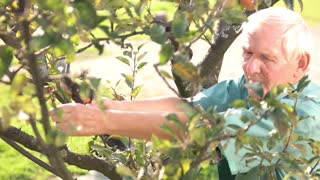 Senior gardener with scissors. Elderly man working outdoors. How to prune trees.