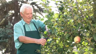 Senior gardener with scissors working. Old man and apple tree. Pruning tools and their uses.