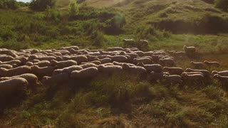 Sheep are walking. Herd on green meadow. Animals return to the farm. Time of grazing is over.