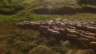 Sheep herd is walking. Sheep on a meadow. Grazing animals in the village. Sunny weather in countryside.
