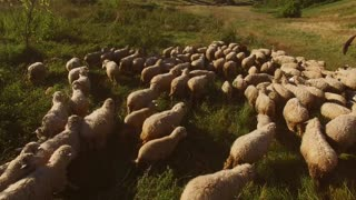 Sheep walking on meadow. Flock of white sheep. Animals at pasture land. Terrain meant for grazing.