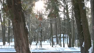 Snowy pine forest. Trees, snow and sun.