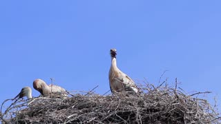 Storks in the nest on blue sky background. Family of storks.