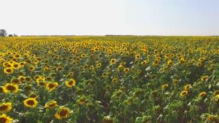 Sunflower field and sky. Yellow sunflowers and horizon. Life under the sun.