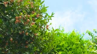 Tangerines on branches. Ripe fruits and green leaves.