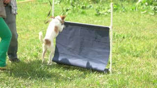 The little dog's easily jumping over a bar jump. The dog is getting reward for a trick.