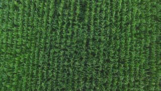 Top view of green field. Rows of plants. Corn grown in the countryside. Fertile soil needs cultivation.