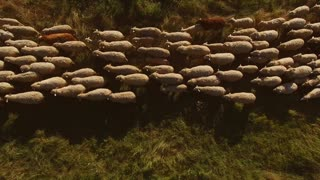Top view of walking sheep. Sheep on green meadow. Animals grazed outside the town. Boost agriculture through ecology.