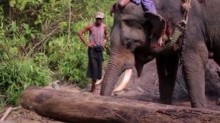 Trained elephant builds houses. Elephant helps the farm villagers.