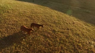 Two horses walking on grass. Top view of brown horses. Pair of wanderers at sunrise. Instinct will show the way.