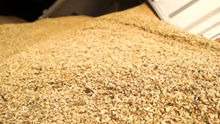 Unloading wheat, close up. Close up heap of yellow cereals.