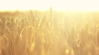 Wheat plant with bright sunshine. Field of wheat in the beautiful late evening sunshine.