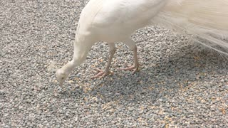 White peafowl eating. Beautiful exotic bird. Best food for peacocks.