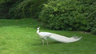 White peafowl on green lawn. Beautiful bird in the park.