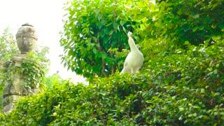 White peafowl summer nature. Beautiful bird outdoor.
