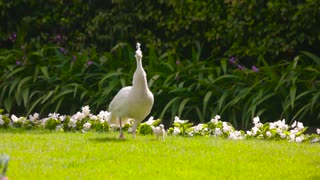 White peafowl with a peachick. Birds on green lawn.